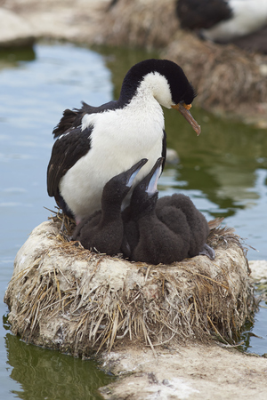 Imperial Shag (Phalacrocorax atriceps albiventer) with chicks on Sealion Island in the Falkland Islands