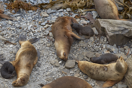 flavescens: Female Southern Sea Lions (Otaria flavescens) with new pups on the coast of Sealion Island in the Falkland Islands. Stock Photo