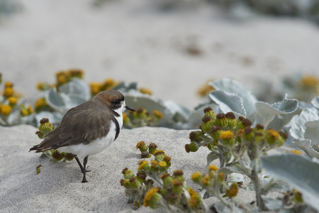 plummage: Two-banded Plover (Charadrius falklandicus) foraging amongst flowering Sea Cabbage plants (Senecio candidans) on a sandy beach on Sealion Island on the Falkland Islands.