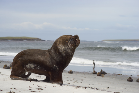 flavescens: Large male Southern Sea Lion (Otaria flavescens) heading into the sea on the coast of Sealion Island in the Falkland Islands.