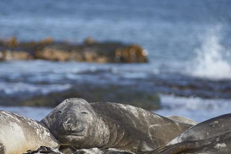 Southern Elephant Seals (Mirounga leonina) sleeping on a sandy beach on Sealion Island in the Falkland Islands.