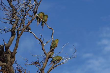 Group of Austral Parakeet (Enicognathus ferrugineus) perched on a tree in Torres del Paine National Park in Chile. Stock Photo