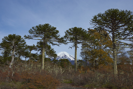 Snow capped peak of Volcano Llaima (3125 meters) in Conguillio National Park in southern Chile. Araucania Trees (Araucaria araucana) in the foreground. Stock Photo