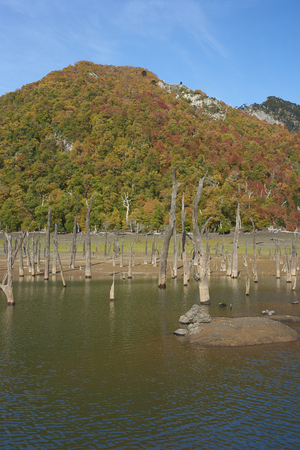Autumn colours on the forested hillsides surrounding Laguna Verde in Conguillio National Park in Araucania, southern Chile. Stumps of dead trees in the foreground. Stock Photo