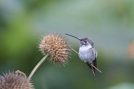 Oasis Hummingbird (Rhodopis vesper) perched on a plant at the Hummingbird Sanctuary in the Azapa Valley near Arica in northern Chile.