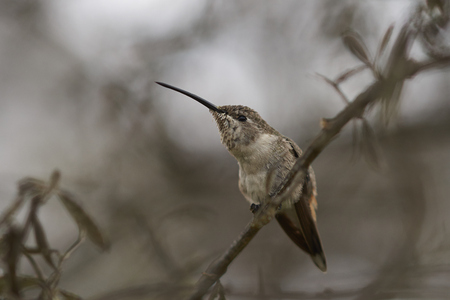 white perch: Oasis Hummingbird (Rhodopis vesper) perched on a plant at the Hummingbird Sanctuary in the Azapa Valley near Arica in northern Chile.