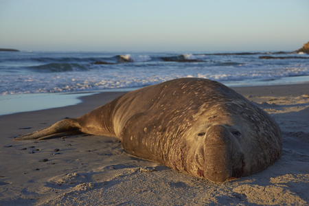 Male Southern Elephant Seal (Mirounga leonina) lying on a sandy beach on Sea Lion Island in the Falkland Islands.