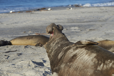 Male Southern Elephant Seal (Mirounga leonina) calling on the coast of Sea Lion Island in the Falkland Islands.