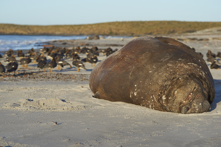 Male Southern Elephant Seal (Mirounga leonina) lying on a sandy beach on Sea Lion Island in the Falkland Islands. Falkland Steamer Ducks in the background. Stock Photo