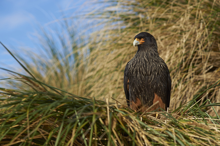 striated: Striated Caracara (Phalcoboenus australis) in the tussock grass on the coast of Sea Lion Island in the Falkland Islands.