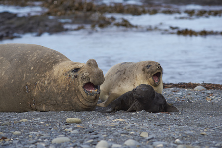 Breeding group of Southern Elephant Seal (Mirounga leonina) on Sea Lion Island in the Falkland Islands. Stock Photo