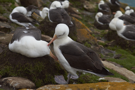 Black-browed Albatross (Thalassarche melanophrys) colony on the cliffs of Saunders Island in the Falkland Islands. Stock Photo