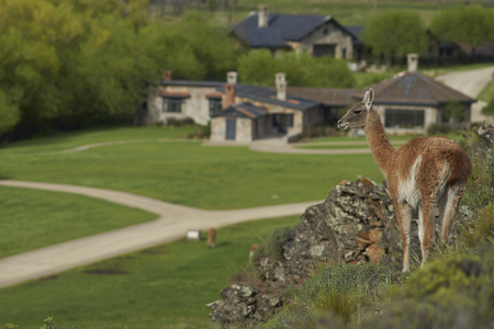 Guanaco (Lama guanicoe) on a hillside overlooking a stone building in Valle Chacabuco, northern Patagonia, Chile.