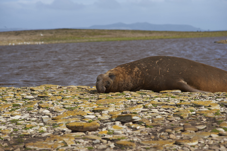 Male Southern Elephant Seal (Mirounga leonina) on a stony beach at Elephant Point on Saunders Island in the Falkland Islands.
