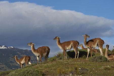 Group of Guanaco Lama guanicoe grazing on a hillside in Valle Chacabuco northern Patagonia Chile. Stock fotó