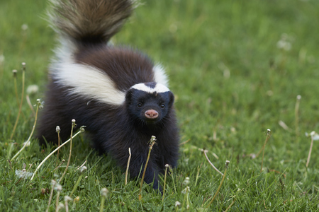 Humboldt hog-nosed skunk Conepatus  for food in Valle Chacabuco Patagonia Chile Stock Photo