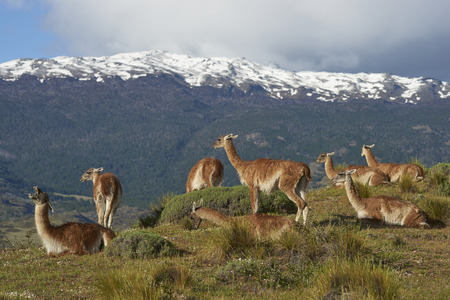 Group of Guanaco (Lama guanicoe) grazing on a hillside in Valle Chacabuco, northern Patagonia, Chile. Stock fotó
