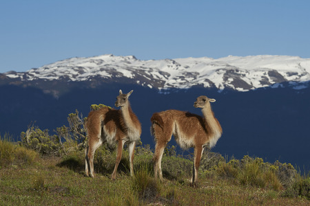 Guanaco (Lama guanicoe) standing on a hilltop in Valle Chacabuco, northern Patagonia, Chile.