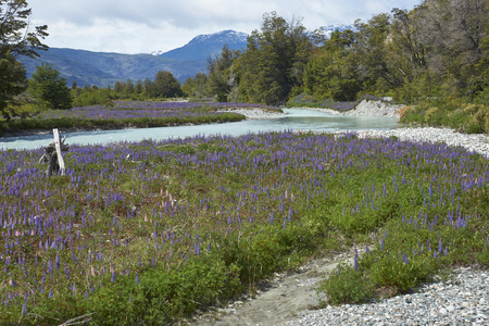 Spring in Patagonia. Lupins flowering on the banks of the Rio el Canal along the Carretera Austral in southern Chile.