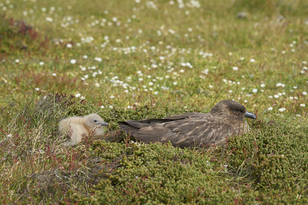Adult Falkland Skua (Catharacta antarctica) with chick in a meadow on Bleaker Island in the Falkland Islands. Stock Photo