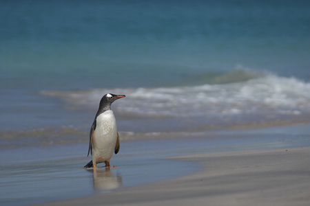 Gentoo Penguin (Pygoscelis papua) emerging from the sea onto a large sandy beach on Bleaker Island in the Falkland Islands.