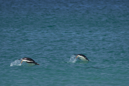 Gentoo Penguins (Pygoscelis papua) swimming in the sea off the coast of Bleaker Island in the Falkland Islands. Stock Photo