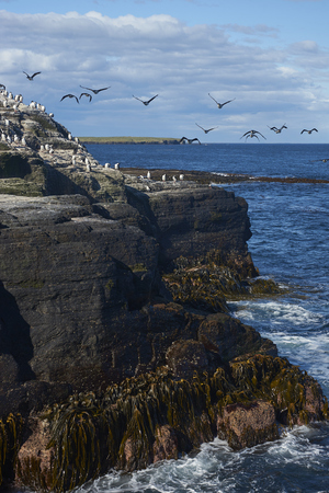 Large group of Imperial Shag (Phalacrocorax atriceps albiventer) on the coast of Bleaker Island on the Falkland Islands Imagens