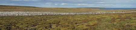 Large colony of Imperial Shag (Phalacrocorax atriceps albiventer) on Bleaker Island on the Falkland Islands Imagens