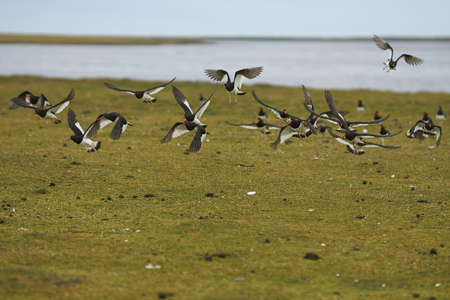 Flock of Magellanic Oystercatcher (Haematopus leucopodus) flying over a pasture on the coast of Bleaker Island in the Falkland Islands.