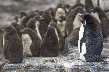 Rockhopper Penguin chicks (Eudyptes chrysocome) huddle together in a creche on Bleaker Island in the Falkland Islands whilst a majority of adults are away at sea feeding. A few adults remain to keep order. Stock Photo