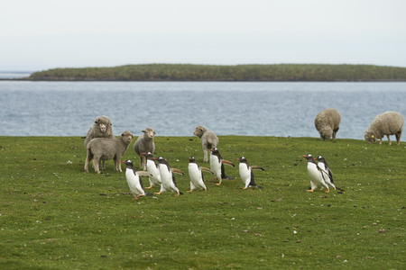 Gentoo Penguins (Pygoscelis papua) pass a group of sheep as they walk back to their colony across the green grass of Bleaker Island in the Falkland Islands. 写真素材