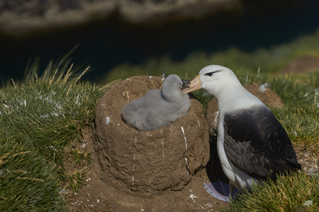 Black-browed Albatross (Thalassarche melanophrys) grooming its chick on the cliffs of West Point Island in the Falkland Islands.