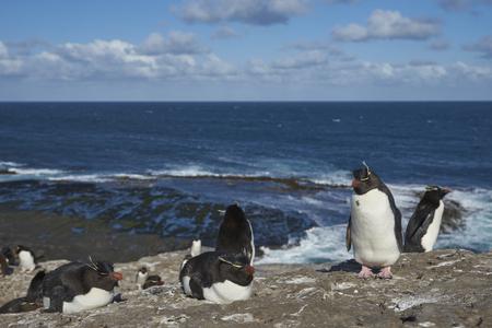 Rockhopper Penguins (Eudyptes chrysocome) on the cliffs of Bleaker Island in the Falkland Islands Foto de archivo