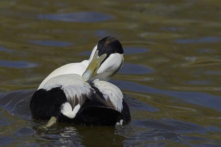 Eider Duck (Somateria mollissima) preening whilst on a pond at Slimbridge in Gloucestershire, United Kingdom