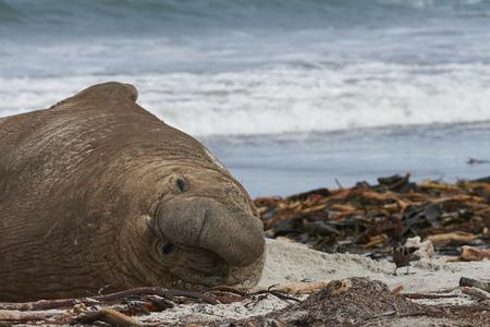 Male Southern Elephant Seal (Mirounga leonina) lying on a kelp strewn beach on Sea Lion Island in the Falkland Islands. Imagens