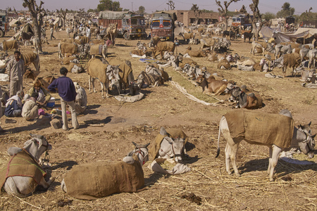 Nagaur, Rajasthan, India - February 13, 2008: Cattle tethered in rows at the annual livestock festival in Nagaur, Rajasthan, India. 新聞圖片