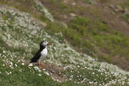 Atlantic puffin (Fratercula arctica) in spring on Skomer Island off the coast of Pembrokeshire in Wales, United Kingdom Stock fotó