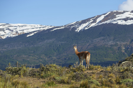 Guanaco (Lama guanicoe) in Valle Chacabuco, northern Patagonia, Chile. Stock fotó