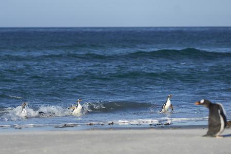 Gentoo Penguins (Pygoscelis papua) coming ashore after feeding at sea on Sea Lion Island in the Falkland Islands.