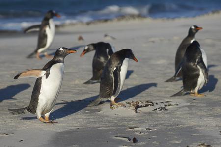 Gentoo Penguins (Pygoscelis papua) on a sandy beach on Sea Lion Island in the Falkland Islands.