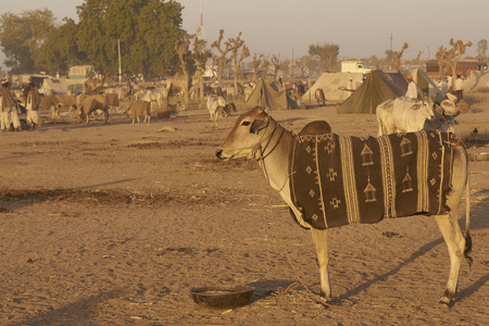Cattle tethered in rows at the annual livestock festival in Nagaur, Rajasthan, India. Stock fotó