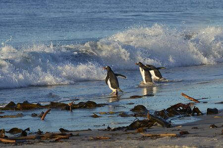 Gentoo Penguins (Pygoscelis papua) heading to sea from a sandy beach on Sea Lion Island in the Falkland Islands.