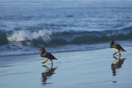 Falkland Steamer Ducks (Tachyeres brachypterus) on a sandy beach on Sea Lion Island in the Falkland Islands. Stok Fotoğraf