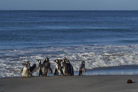 Magellanic Penguins (Spheniscus magellanicus) on the coast of Sea Lion Island in the Falkland Islands.