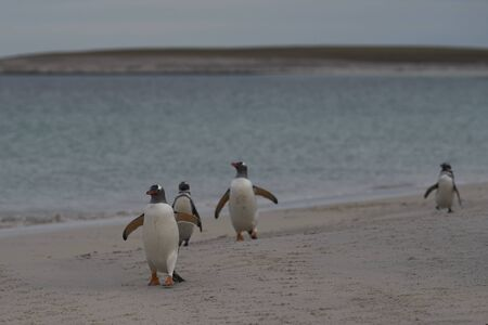 Gentoo Penguins (Pygoscelis papua) emerging from the sea onto a large sandy beach on Bleaker Island in the Falkland Islands. Stock Photo