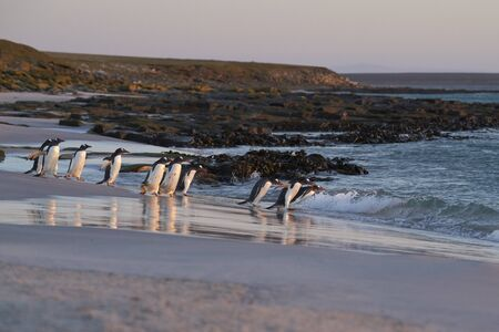 Gentoo Penguin (Pygoscelis papua) heading to sea early in the morning from a sandy beach on Bleaker Island in the Falkland Islands. Stock Photo