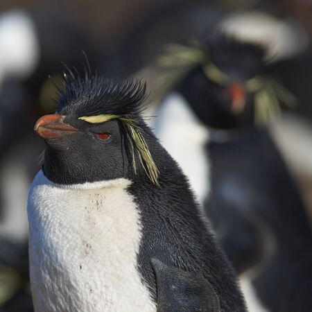 Rockhopper Penguins (Eudyptes chrysocome) at their nesting site on the cliffs of Bleaker Island in the Falkland Islands