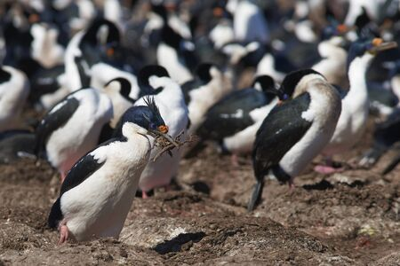 Large colony of Imperial Shag (Phalacrocorax atriceps albiventer) on Bleaker Island on the Falkland Islands