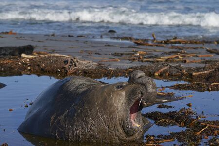 Male Southern Elephant Seal (Mirounga leonina) with mount open and roaring during the breeding season on Sea Lion Island in the Falkland Islands.