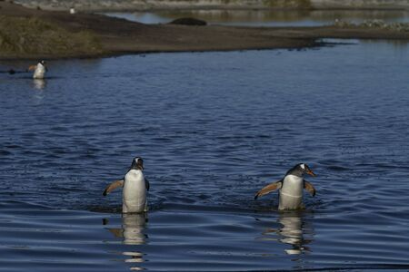 Gentoo Penguins (Pygoscelis papua) crossing a lagoon on Sea Lion Island in the Falkland Islands. Stock Photo